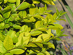 Golden Privet (Ligustrum x vicaryi) at Moana Nursery