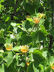 Tuliptree (Liriodendron tulipifera) at Moana Nursery