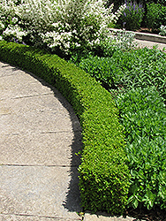 Green Velvet Boxwood (Buxus 'Green Velvet') at Moana Nursery