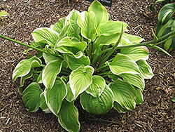 Fragrant Bouquet Hosta (Hosta 'Fragrant Bouquet') at Moana Nursery