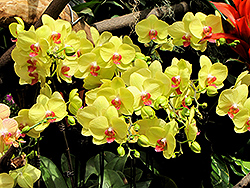 Yellow Gown Orchid (Phalaenopsis 'Yellow Gown') at Moana Nursery