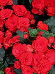 Nonstop Red Begonia (Begonia 'Nonstop Red') at Moana Nursery