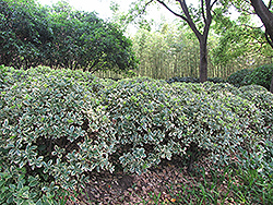 Silver King Euonymus (Euonymus japonicus 'Silver King') at Moana Nursery