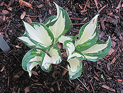 Christmas Candy Hosta (Hosta 'Christmas Candy') at Moana Nursery