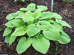 August Moon Hosta (Hosta 'August Moon') at Moana Nursery