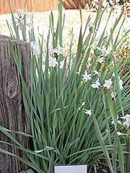 Paperwhites (Narcissus papyraceus) at Moana Nursery