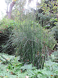 Horsetail (Equisetum hyemale) at Moana Nursery