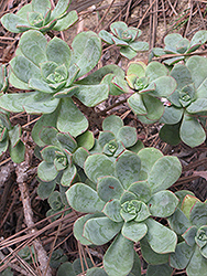 Pinwheel (Aeonium haworthii) at Moana Nursery