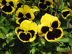 Delta Yellow With Blotch Pansy (Viola x wittrockiana 'Delta Yellow With Blotch') at Moana Nursery