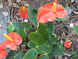 Florida Anthurium (Anthurium andraeanum 'Florida') at Moana Nursery