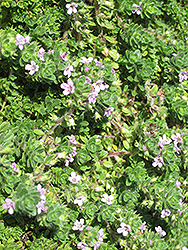 Pink Chintz Creeping Thyme (Thymus praecox 'Pink Chintz') at Moana Nursery