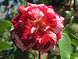 Rock And Roll Rose (Rosa 'WEKgobnez') at Moana Nursery