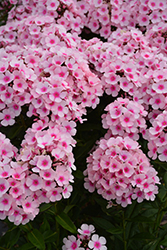 Bright Eyes Garden Phlox (Phlox paniculata 'Bright Eyes') at Moana Nursery