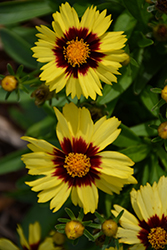UpTick™ Yellow and Red Tickseed (Coreopsis 'Baluptowed') at Moana Nursery