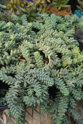 Burro's Tail (Sedum morganianum) at Moana Nursery
