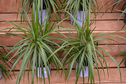 Red-edge Dracaena (Dracaena marginata) at Moana Nursery