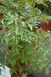 Ming Aralia (Polyscias fruticosa) at Moana Nursery