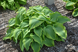 Atlantis Hosta (Hosta 'Atlantis') at Moana Nursery