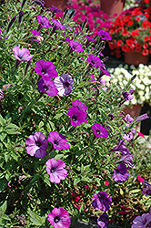 Supertunia Indigo Charm Petunia (Petunia 'Supertunia Indigo Charm') at Moana Nursery