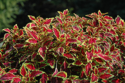 Aurora Black Cherry Coleus (Solenostemon scutellarioides 'Aurora Black Cherry') at Moana Nursery