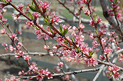 Redhaven Peach (Prunus persica 'Redhaven') at Moana Nursery
