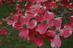 Cherokee Chief Flowering Dogwood (Cornus florida 'Cherokee Chief') at Moana Nursery