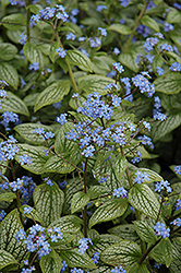 Silver Heart Bugloss (Brunnera macrophylla 'Silver Heart') at Moana Nursery