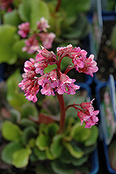 Eden's Dark Margin Bergenia (Bergenia 'Eden's Dark Margin') at Moana Nursery