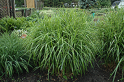 Porcupine Grass (Miscanthus sinensis 'Strictus') at Moana Nursery