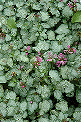 Beacon Silver Spotted Dead Nettle (Lamium maculatum 'Beacon Silver') at Moana Nursery