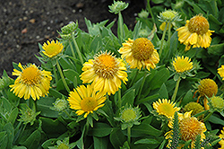 Mesa Yellow Blanket Flower (Gaillardia x grandiflora 'Mesa Yellow') at Moana Nursery