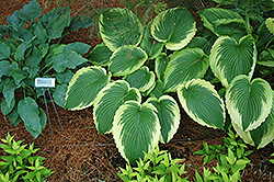 Bridal Falls Hosta (Hosta 'Bridal Falls') at Moana Nursery