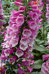 Dalmatian Purple Foxglove (Digitalis purpurea 'Dalmatian Purple') at Moana Nursery