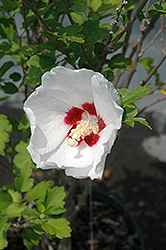 Red Heart Rose Of Sharon (Hibiscus syriacus 'Red Heart') at Moana Nursery
