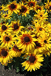 Denver Daisy Coneflower (Rudbeckia hirta 'Denver Daisy') at Moana Nursery