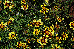 Cosmic Eye Tickseed (Coreopsis 'Cosmic Eye') at Moana Nursery
