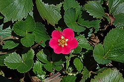 Tristan Strawberry (Fragaria 'Tristan') at Moana Nursery