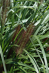 Red Head Fountain Grass (Pennisetum alopecuroides 'Red Head') at Moana Nursery