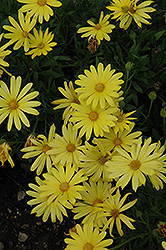 Voltage Yellow African Daisy (Osteospermum 'Voltage Yellow') at Moana Nursery