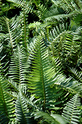 Sword Fern (Polystichum munitum) at Moana Nursery