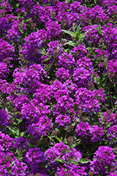 Homestead Purple Verbena (Verbena 'Homestead Purple') at Moana Nursery