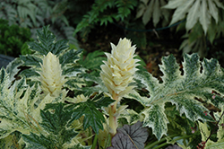 Whitewater Acanthus (Acanthus 'Whitewater') at Moana Nursery
