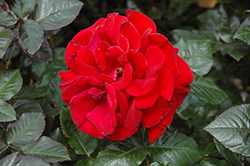 Drop Dead Red Rose (Rosa 'Drop Dead Red') at Moana Nursery