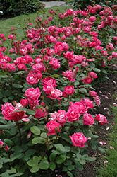 Double Knock Out® Rose (Rosa 'Radtko') at Moana Nursery