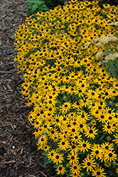 Little Goldstar Coneflower (Rudbeckia fulgida 'Little Goldstar') at Moana Nursery