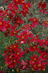 Red Satin Tickseed (Coreopsis 'Red Satin') at Moana Nursery