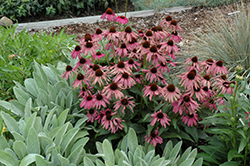 Purple Emperor Coneflower (Echinacea purpurea 'Purple Emperor') at Moana Nursery