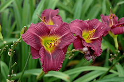 Little Grapette Daylily (Hemerocallis 'Little Grapette') at Moana Nursery