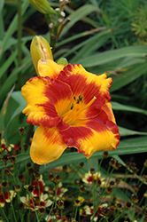 Adorable Tiger Daylily (Hemerocallis 'Adorable Tiger') at Moana Nursery