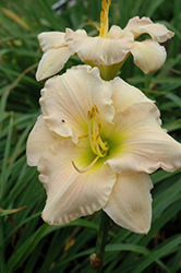 Pewter Pink Daylily (Hemerocallis 'Pewter Pink') at Moana Nursery